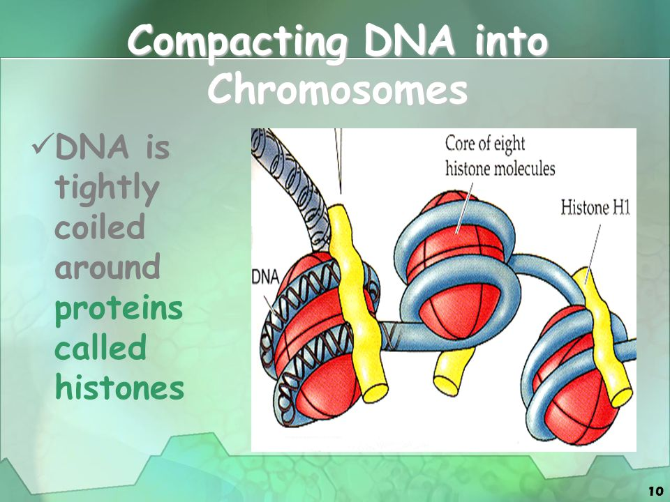 10 Compacting DNA into Chromosomes DNA is tightly coiled around proteins called histones