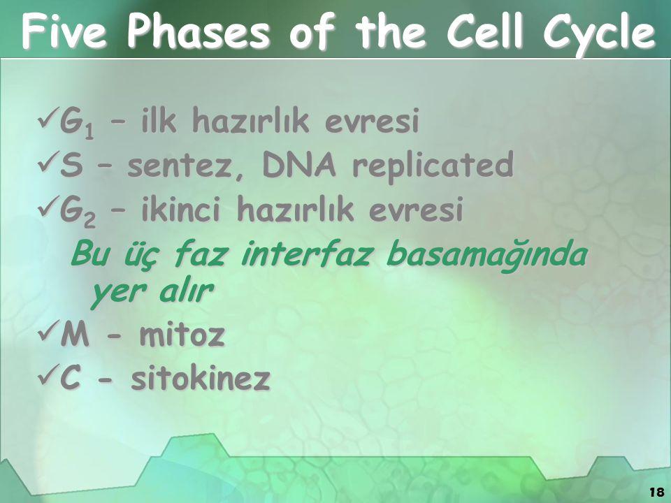 18 Five Phases of the Cell Cycle G 1 – ilk hazırlık evresi G 1 – ilk hazırlık evresi S – sentez, DNA replicated S – sentez, DNA replicated G 2 – ikinc