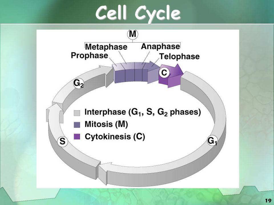 20 Interphase - G 1 Stage Hücre bölünmesinden sonraki ilk büyüme basamağı (citokinez-S faz) Hücre bölünmesinden sonraki ilk büyüme basamağı (citokinez-S faz) Organel ve sitoplazma üretimi Organel ve sitoplazma üretimi mRNA protein üretimi mRNA protein üretimi Nukleotid sentezi Nukleotid sentezi normal metabolic activitelerine devam eder normal metabolic activitelerine devam eder Genelde en uzun evre Genelde en uzun evre Sonsuza kadar bu evrede kalabilir Sonsuza kadar bu evrede kalabilir