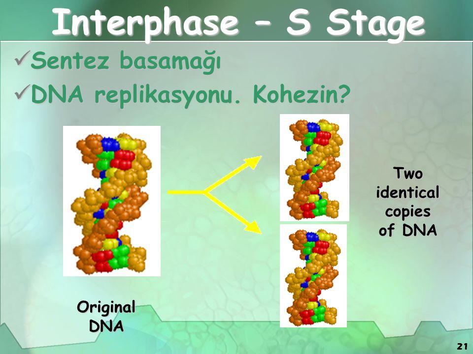 21 Interphase – S Stage Sentez basamağı Sentez basamağı DNA replikasyonu. Kohezin? DNA replikasyonu. Kohezin? Two identical copies of DNA Original DNA