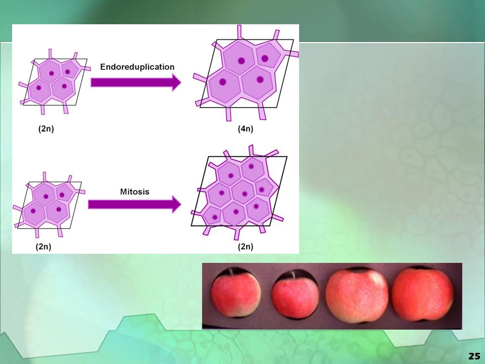 26 Cell Cycle Daughter Cells DNA Copied Cells Mature Cells prepare for Division Cell Divides into Identical cells