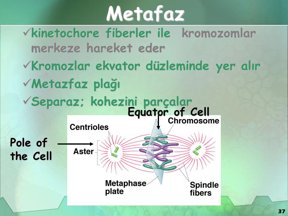37 Metafaz kinetochore fiberler ile kromozomlar merkeze hareket eder kinetochore fiberler ile kromozomlar merkeze hareket eder Kromozlar ekvator düzleminde yer alır Kromozlar ekvator düzleminde yer alır Metazfaz plağı Metazfaz plağı Separaz; kohezini parçalar Separaz; kohezini parçalar Pole of the Cell Equator of Cell