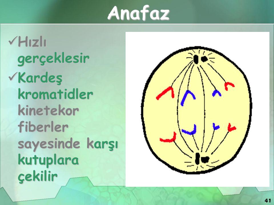 41 Anafaz Hızlı gerçeklesir Hızlı gerçeklesir Kardeş kromatidler kinetekor fiberler sayesinde karşı kutuplara çekilir Kardeş kromatidler kinetekor fib