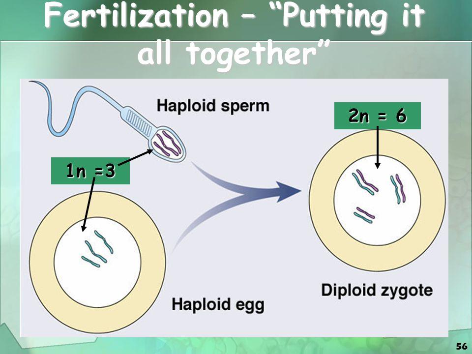 56 Fertilization – Putting it all together 1n =3 2n = 6