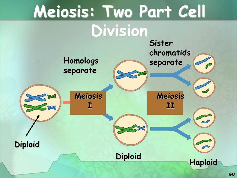 60 Meiosis: Two Part Cell Division Homologsseparate Sisterchromatidsseparate Diploid Meiosis I Meiosis II Diploid Haploid