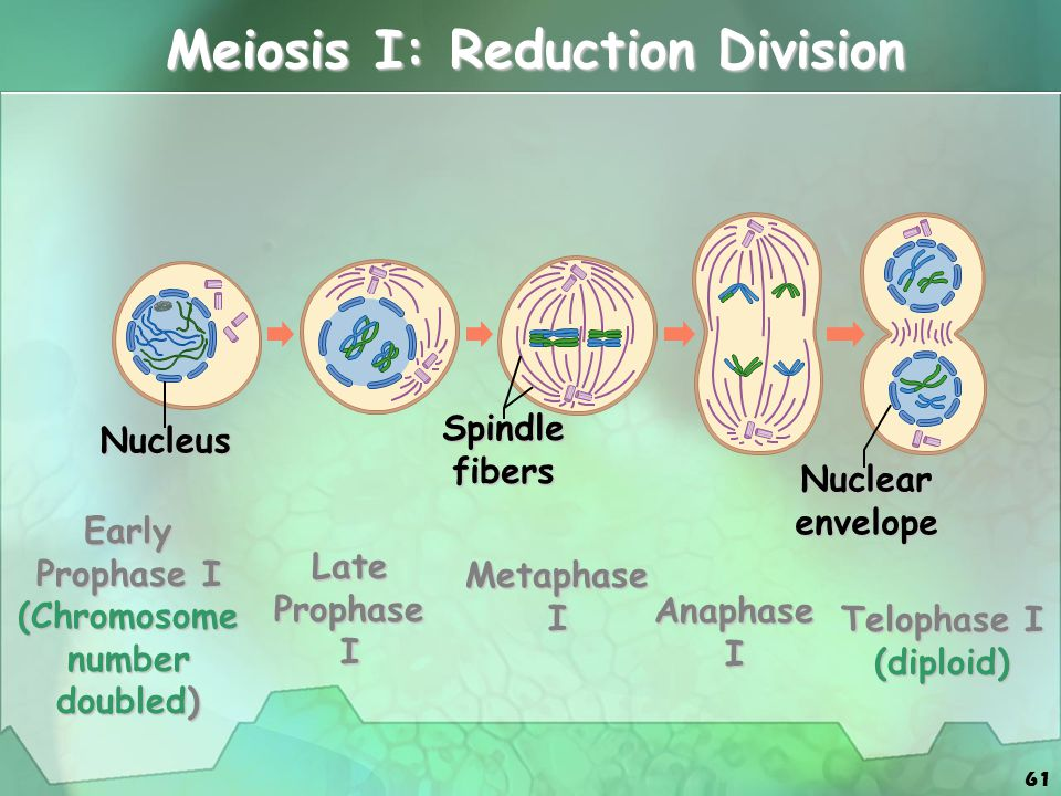 61 Meiosis I: Reduction Division Nucleus Spindlefibers Nuclearenvelope Early Prophase I (Chromosome number doubled) Late Prophase I Metaphase I Anapha