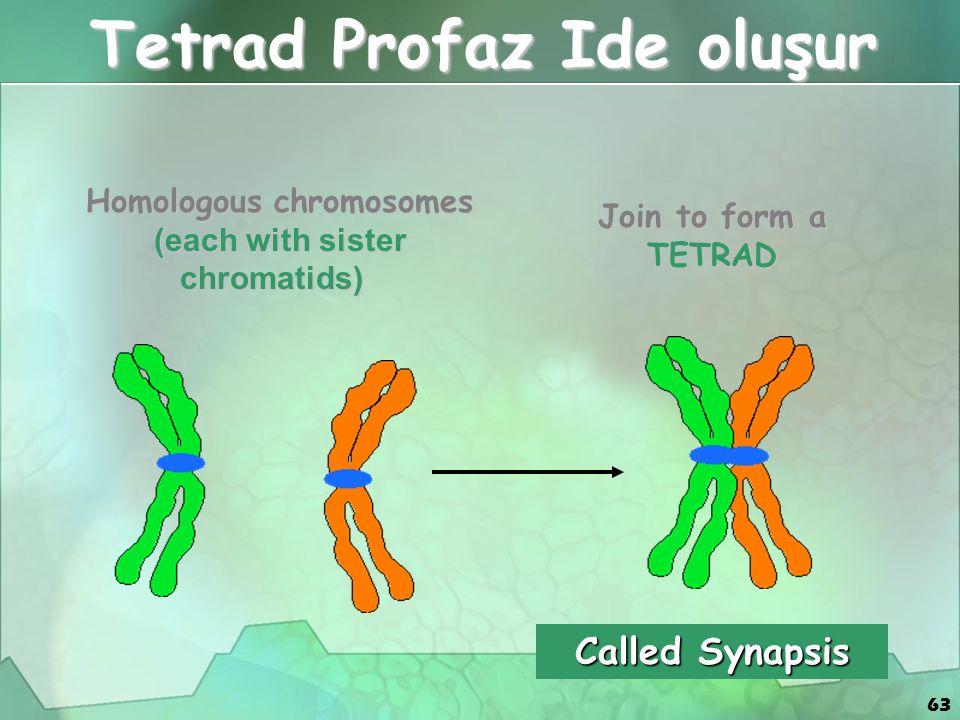 63 Tetrad Profaz Ide oluşur Homologous chromosomes (each with sister chromatids) Homologous chromosomes (each with sister chromatids) Join to form a T