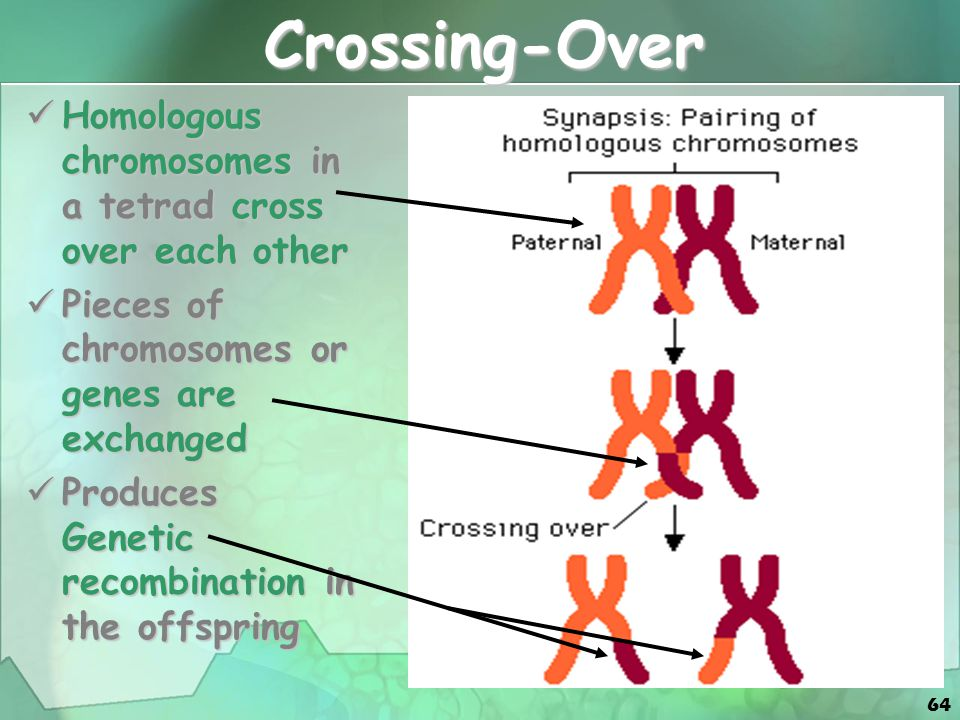 64 Crossing-Over Homologous chromosomes in a tetrad cross over each other Homologous chromosomes in a tetrad cross over each other Pieces of chromosomes or genes are exchanged Pieces of chromosomes or genes are exchanged Produces Genetic recombination in the offspring Produces Genetic recombination in the offspring