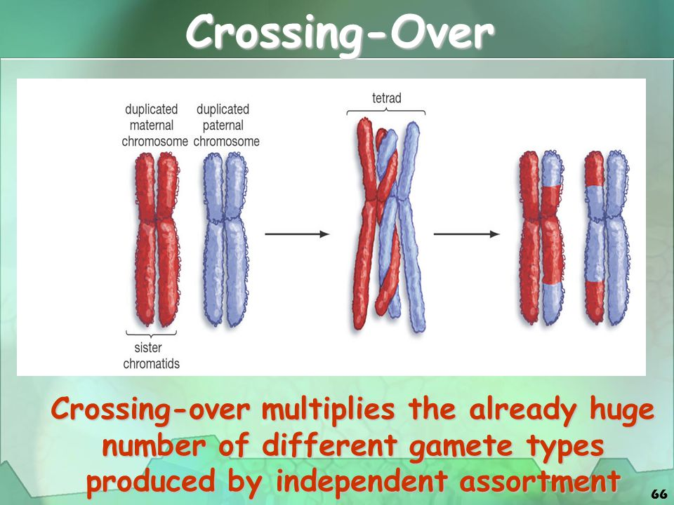 66 Crossing-over multiplies the already huge number of different gamete types produced by independent assortment Crossing-Over