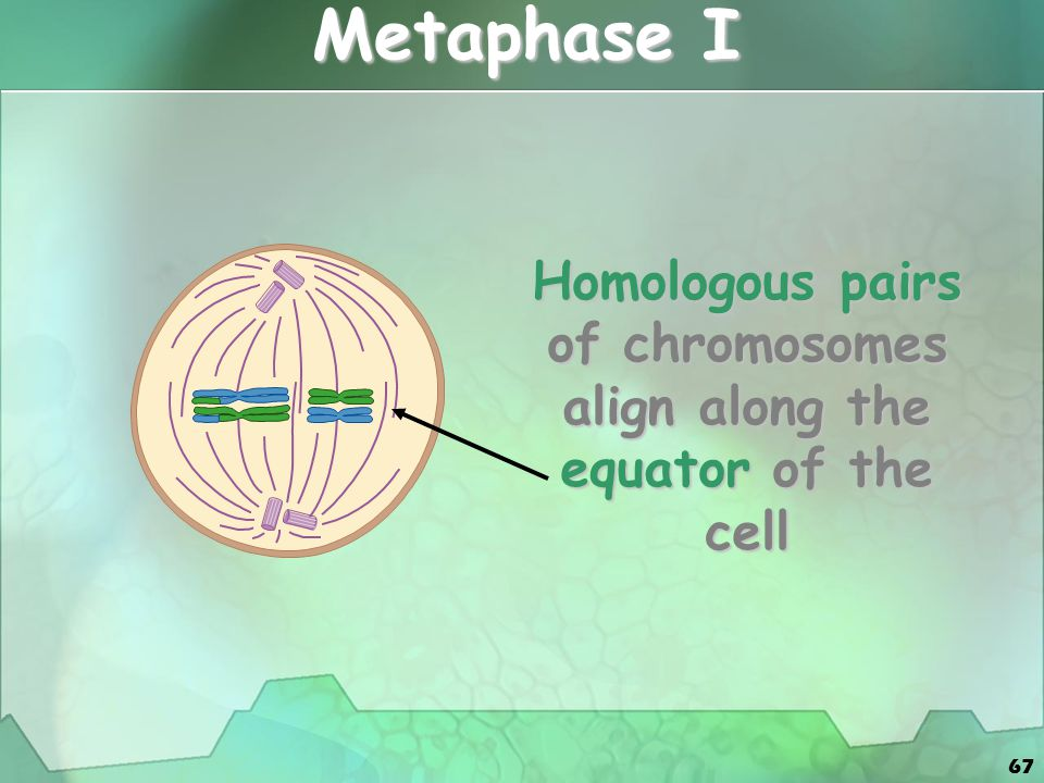 67 Metaphase I Homologous pairs of chromosomes align along the equator of the cell