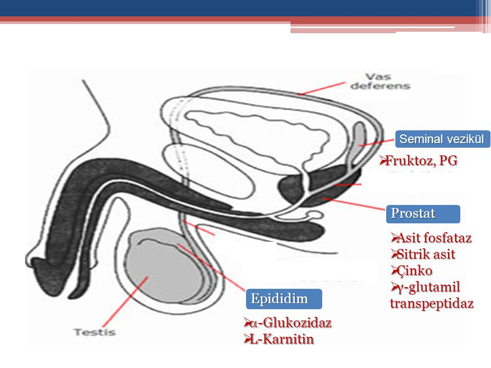 Epididim Prostat Prostat Seminal vezikül  Asit fosfataz  Sitrik asit  Çinko  γ-glutamil transpeptidaz   -Glukozidaz  L-Karnitin  Fruktoz, PG