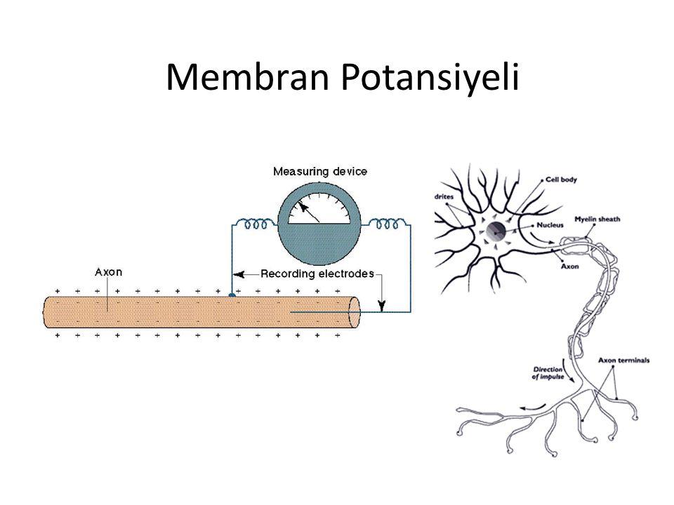 """""""Yarı geçirgen bir membranın iki tarafındaki iyonların konsantrasyonu arasındaki fark, uygun koşullar altında bir membran potansiyeli yaratır. İstirah"""