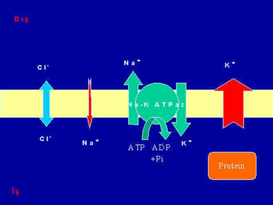 Cl – (Klor) Klor iyonlarının da hücre dışındaki miktarı hücre içinden fazladır. Ve o da hücre içine girmek ister. Bu –70 mv luk bir potansiyel fark ol
