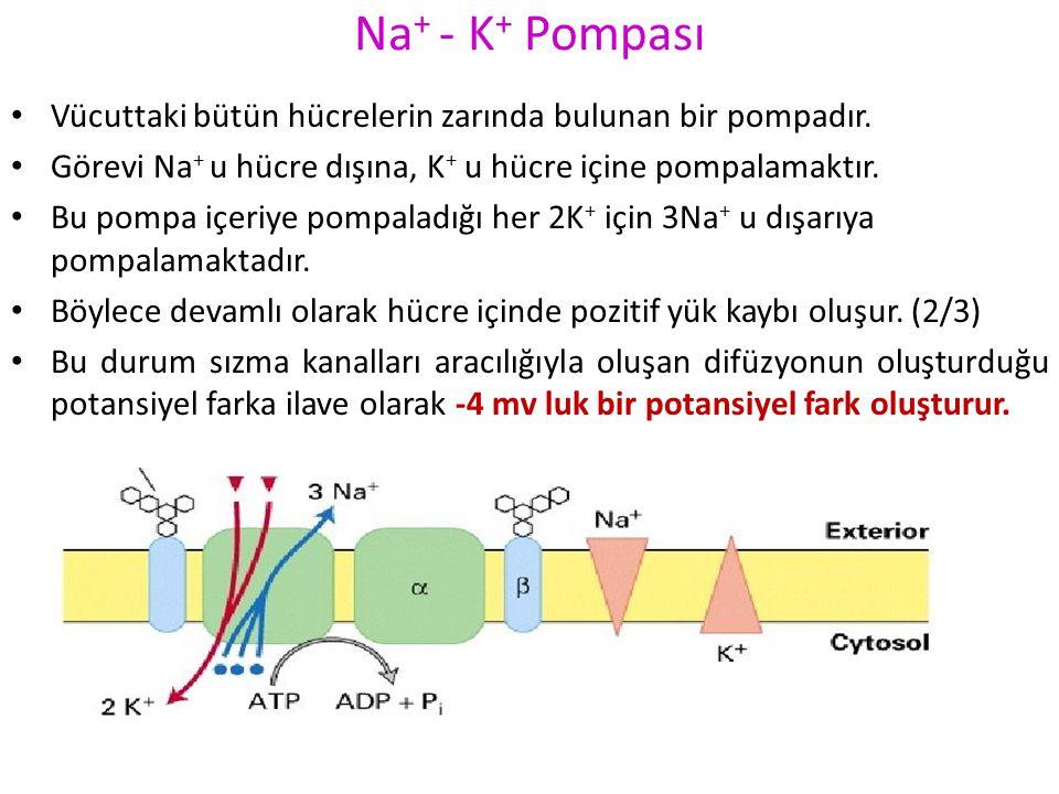 Potasyum sızma kanallarından K + sızması Zar sadece K +' a geçirgen olsaydı Nernst denklemince belirlendiği gibi potansiyel fark – 90 mv olurdu. Sodyu