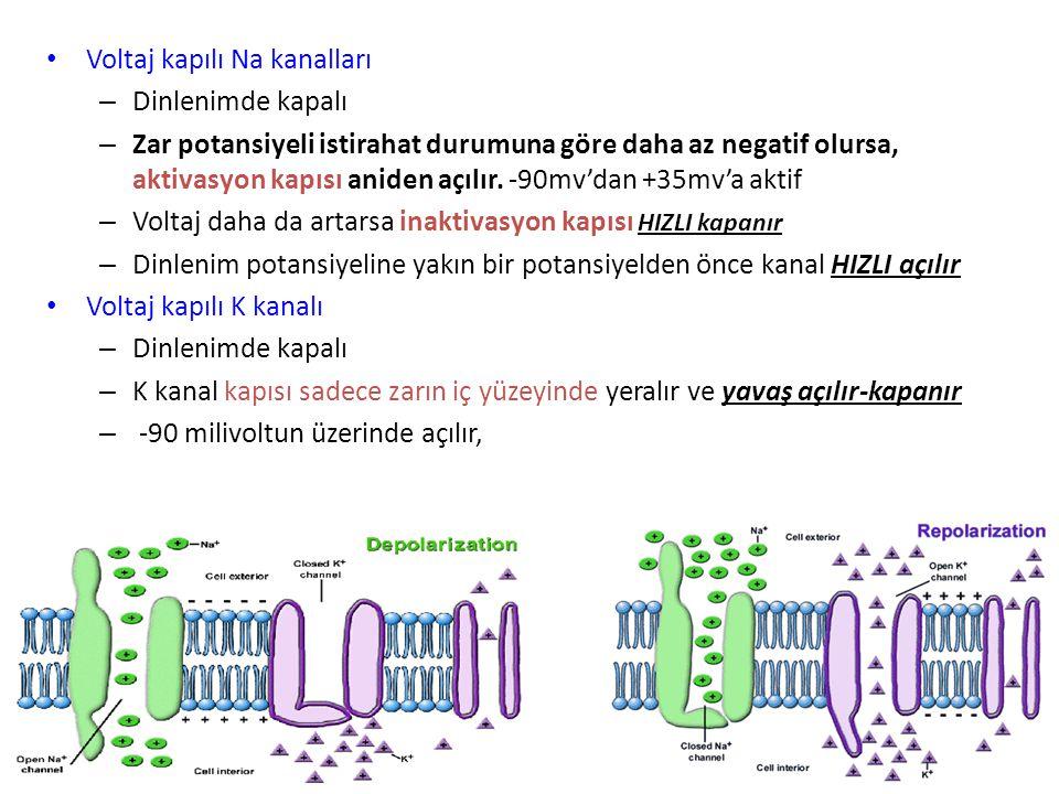 Repolarizasyon Depolarizasyonda açılan Na + kanallarının kapanarak, K kanalllarının gittikçe artan hızda açılmasıyla hücre dışına K + çıkışının olduğu