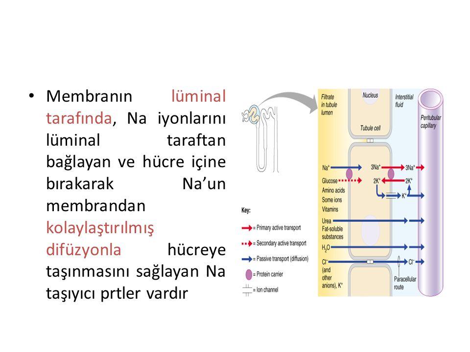 Sekonder aktif taşınmada, 2 veya daha fazla madde ö zel bir membran prt ile taşınır Glukoz kimyasal gradyantla zıt y ö nde taşınır, doğrudan ATP kulla