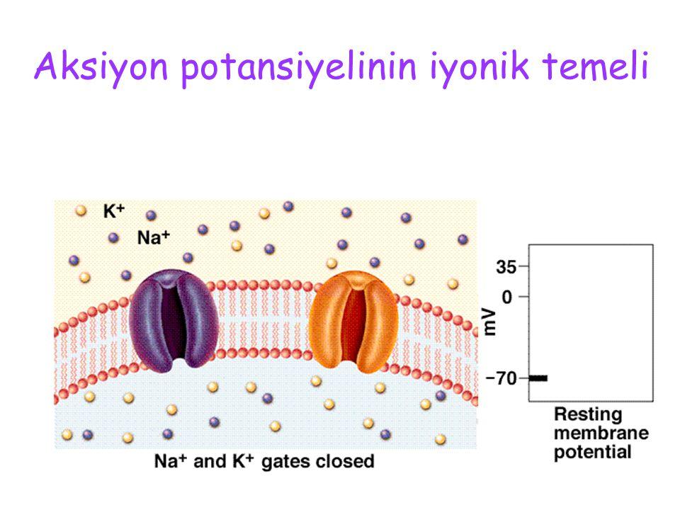 Hiperpolarizasyon (ard potansiyel) K kanal kapıları yavaş kapanır Repolarizasyon uzar