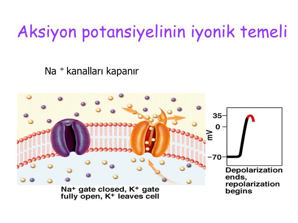 Aksiyon potansiyelinin iyonik temeli Voltaj bağımlı Na + kanalları hızla, K + kanalları yavaşça açılır