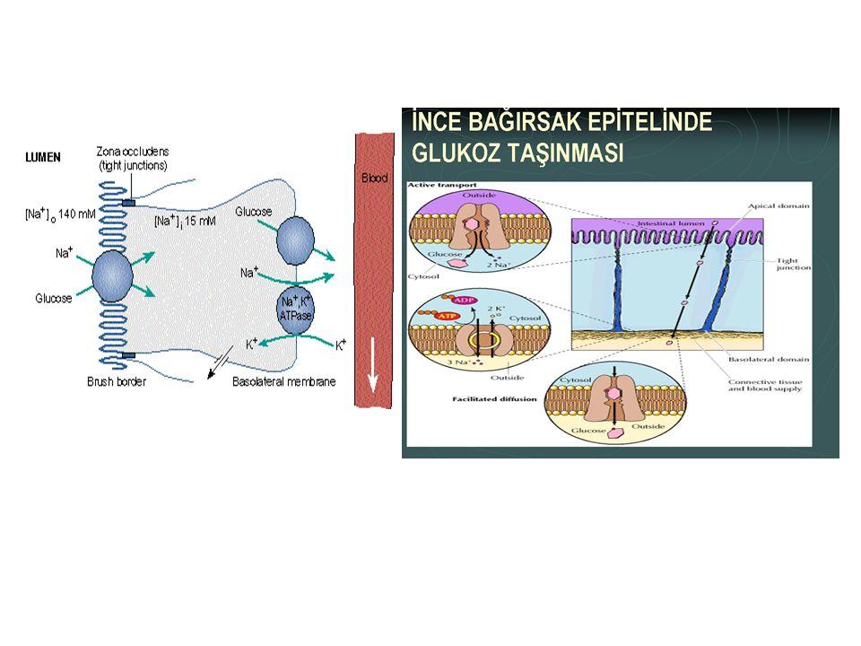 Membranın lüminal tarafında, Na iyonlarını lüminal taraftan bağlayan ve hücre içine bırakarak Na'un membrandan kolaylaştırılmış difüzyonla hücreye taş