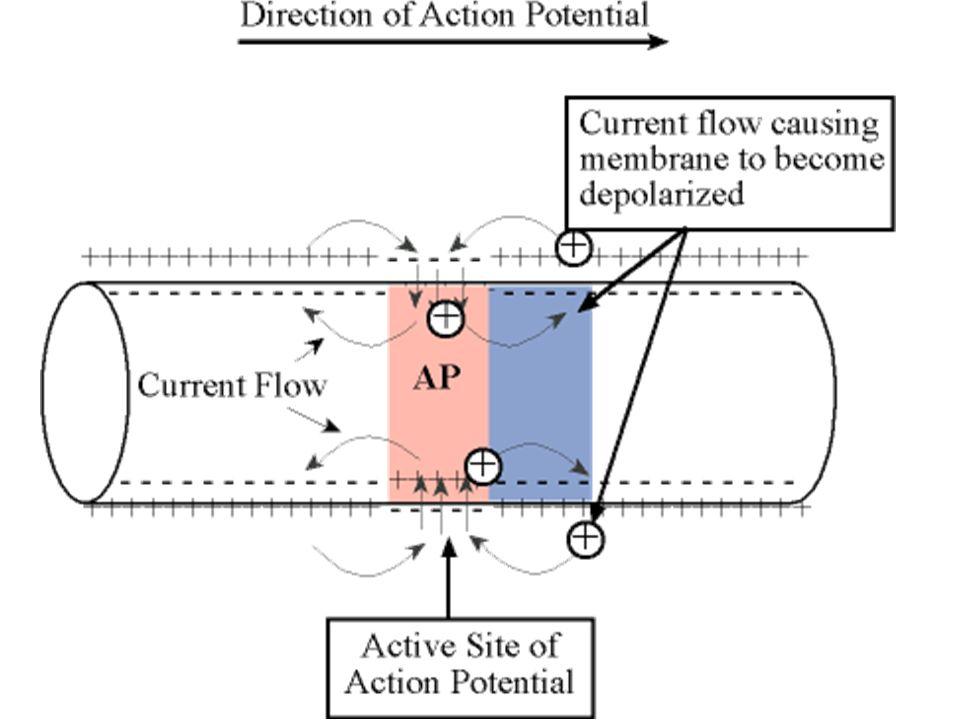 Aksiyon Potansiyelinin Yayılması Uyarılabilen bir hücrenin (kas, sinir gibi) herhangi bir noktasında oluşan bir aksiyon potansiyeli membranın komşu bö