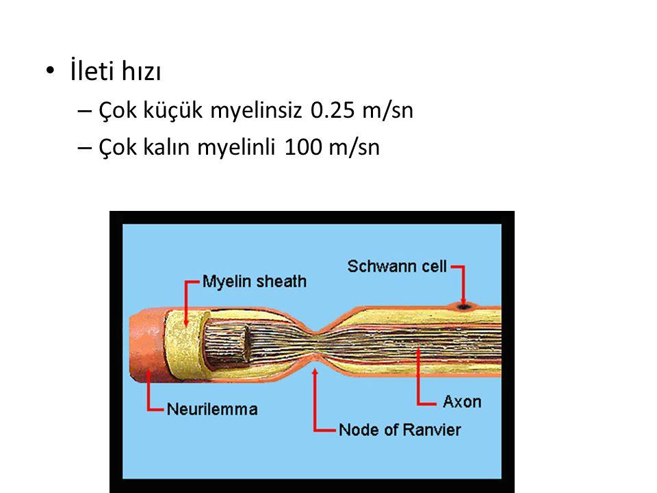 Myelinli liflerde – ileti hızı 5-50 kat fazla – Enerji tasarrufu