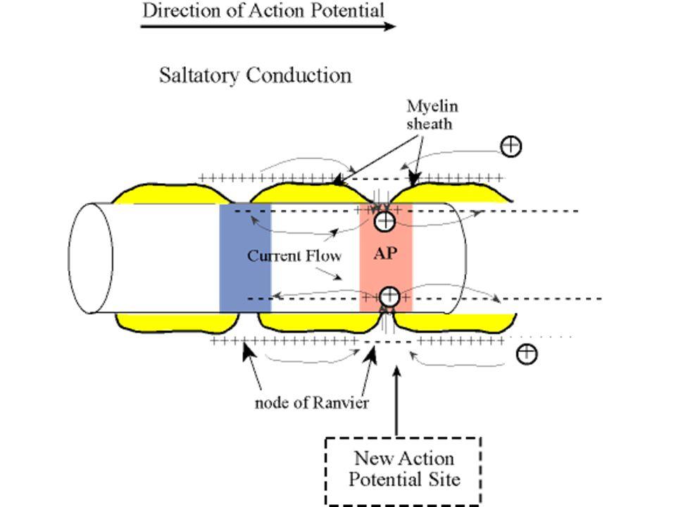İleti hızı – Çok küçük myelinsiz 0.25 m/sn – Çok kalın myelinli 100 m/sn