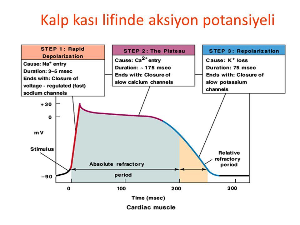 Kalp Kasında Hızlı yanıt tipiAksiyon Potansiyeli: Faz 0: Voltaj-kapılı Na + kanalları açılır Na + girişi artar ve depolarizasyon gerçekleşir. Faz 1: A