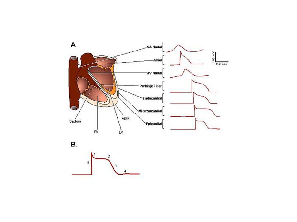 Depolarizasyon: Spontan (+) iyon girişi (Na +, Ca ++ ) AP ateşlemesi (- 45 mV), Hızlı Na + kanallarının açılması, (hücre içi voltaj yükselir) Yavaş Ca