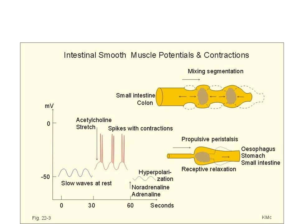 Multi Ünit Düz Kas Elektriksel Özellikleri Multi ünit düz kasın membran potansiyeli stabildir Lifleri küçüktür. Kasılması için uyarıldığında aksiyon p