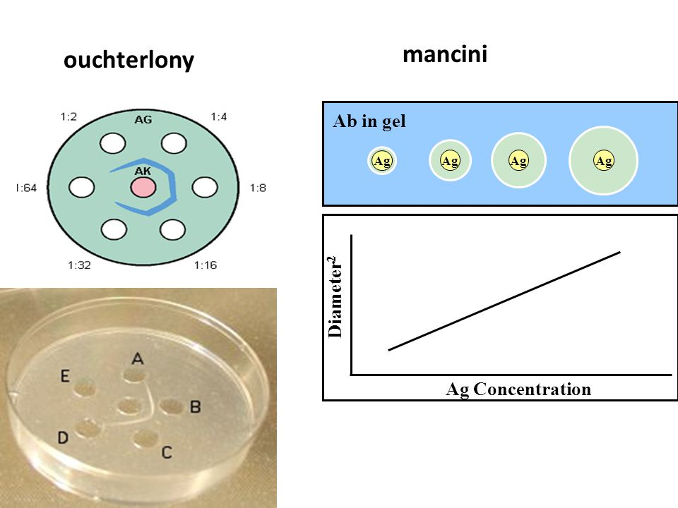 Ag Ab in gel Ag Concentration Diameter 2 ouchterlony mancini