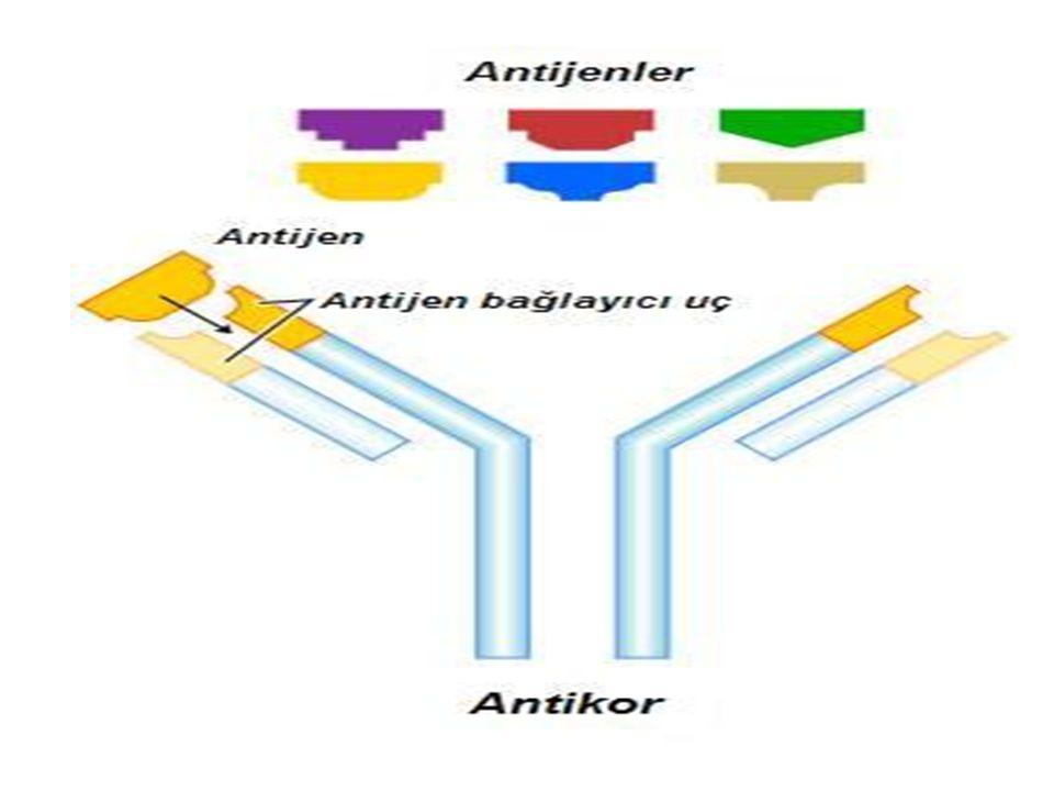 5.Antijen en az bir kez, pozitif seruma karşı titre edilmeli ve ona göre kullanılmalıdır.