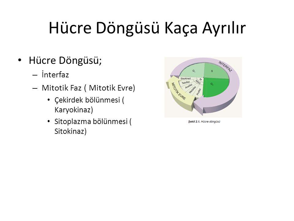 Hücre Döngüsü Kaça Ayrılır Hücre Döngüsü; – İnterfaz – Mitotik Faz ( Mitotik Evre) Çekirdek bölünmesi ( Karyokinaz) Sitoplazma bölünmesi ( Sitokinaz)