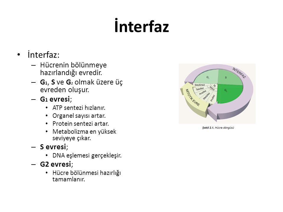İnterfaz İnterfaz: – Hücrenin bölünmeye hazırlandığı evredir. – G 1, S ve G 2 olmak üzere üç evreden oluşur. – G 1 evresi; ATP sentezi hızlanır. Organ