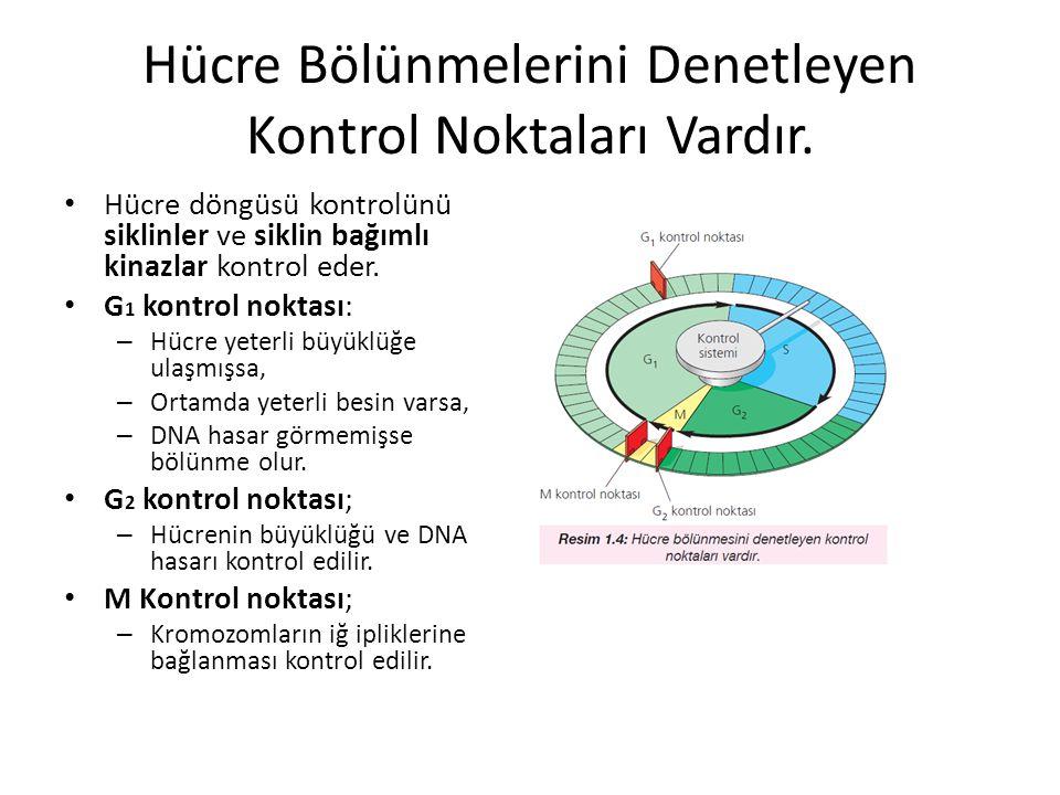 Hücre Bölünmelerini Denetleyen Kontrol Noktaları Vardır. Hücre döngüsü kontrolünü siklinler ve siklin bağımlı kinazlar kontrol eder. G 1 kontrol nokta