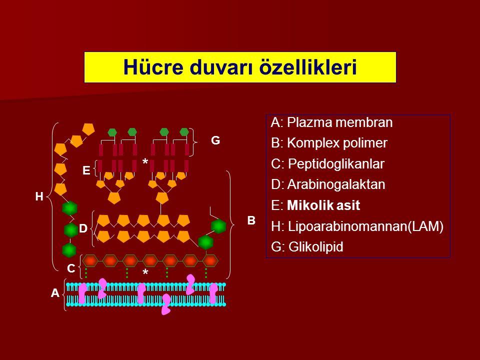 Hücre duvarı özellikleri A B C D E G H A: Plazma membran B: Komplex polimer C: Peptidoglikanlar D: Arabinogalaktan E: Mikolik asit H: Lipoarabinomanna