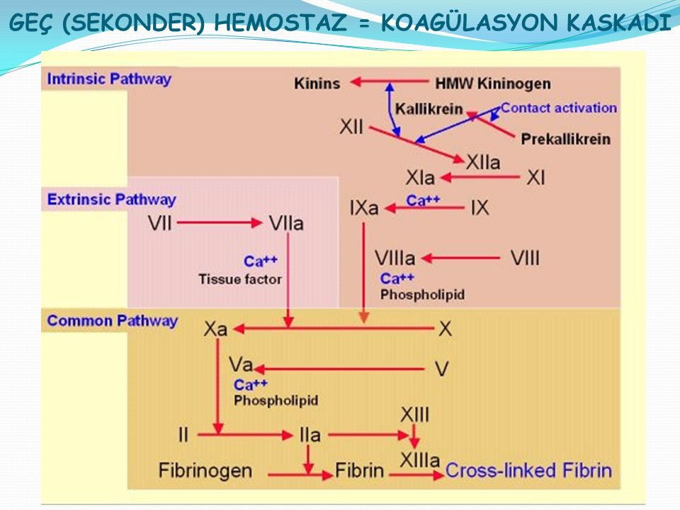 GEÇ (SEKONDER) HEMOSTAZ = KOAGÜLASYON KASKADI