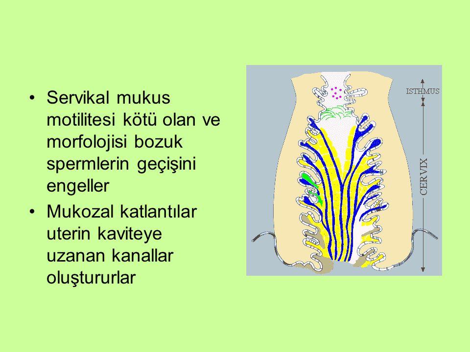 Servikal mukus motilitesi kötü olan ve morfolojisi bozuk spermlerin geçişini engeller Mukozal katlantılar uterin kaviteye uzanan kanallar oluştururlar