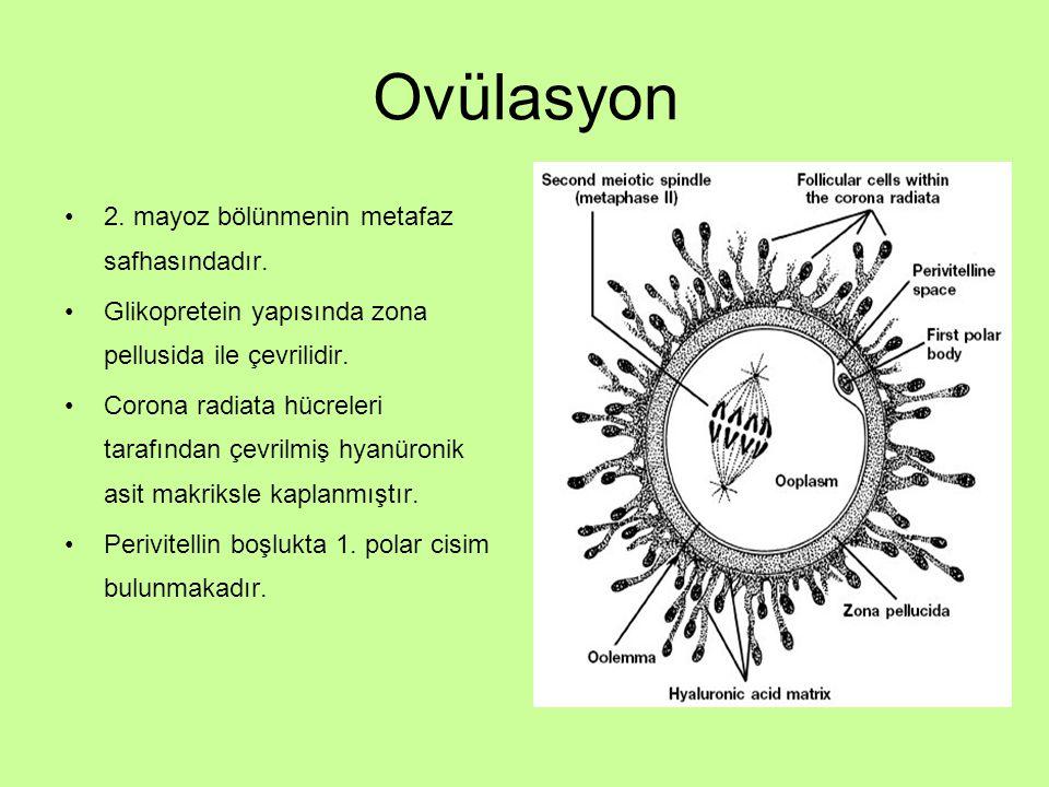 Ovülasyon 2. mayoz bölünmenin metafaz safhasındadır. Glikopretein yapısında zona pellusida ile çevrilidir. Corona radiata hücreleri tarafından çevrilm