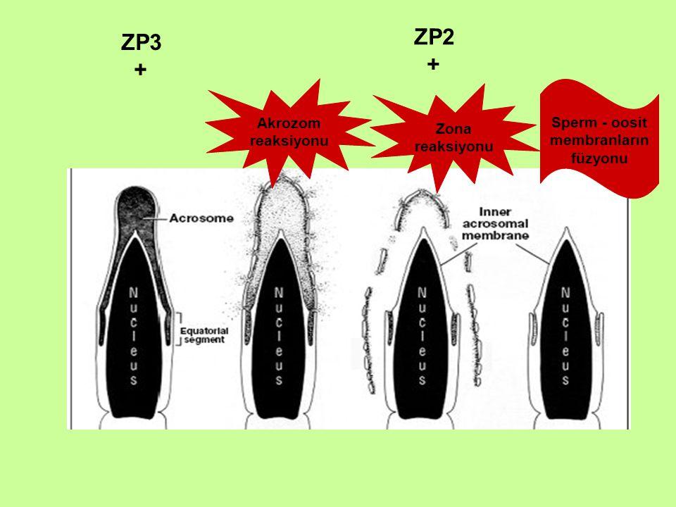 ZP3 + ZP2 + Akrozom reaksiyonu Sperm - oosit membranların füzyonu Zona reaksiyonu