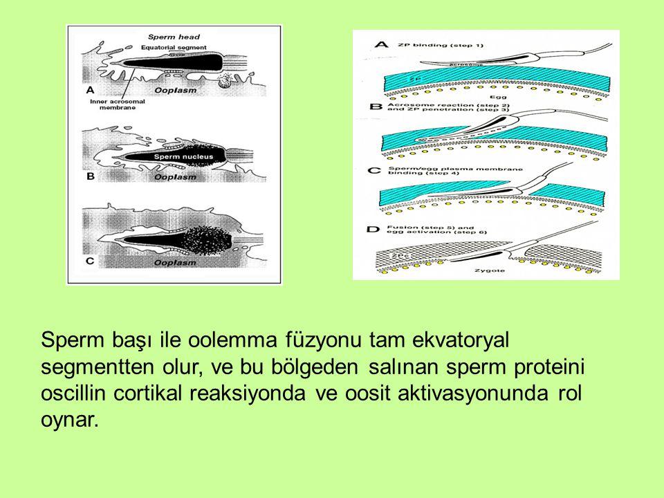 Sperm başı ile oolemma füzyonu tam ekvatoryal segmentten olur, ve bu bölgeden salınan sperm proteini oscillin cortikal reaksiyonda ve oosit aktivasyon
