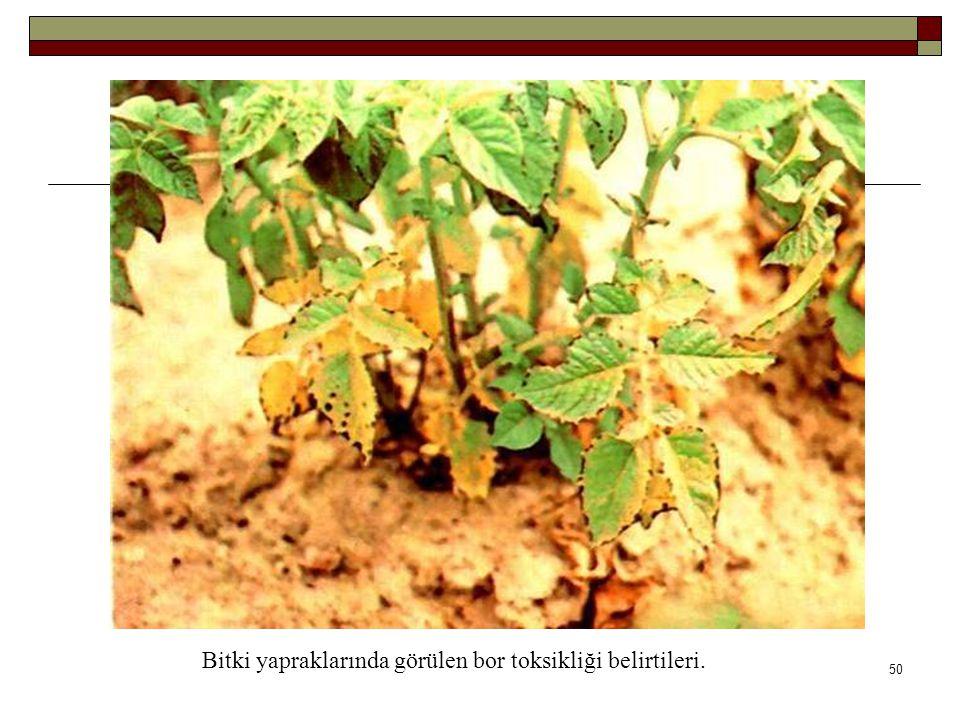Bitki yapraklarında görülen bor toksikliği belirtileri. 50