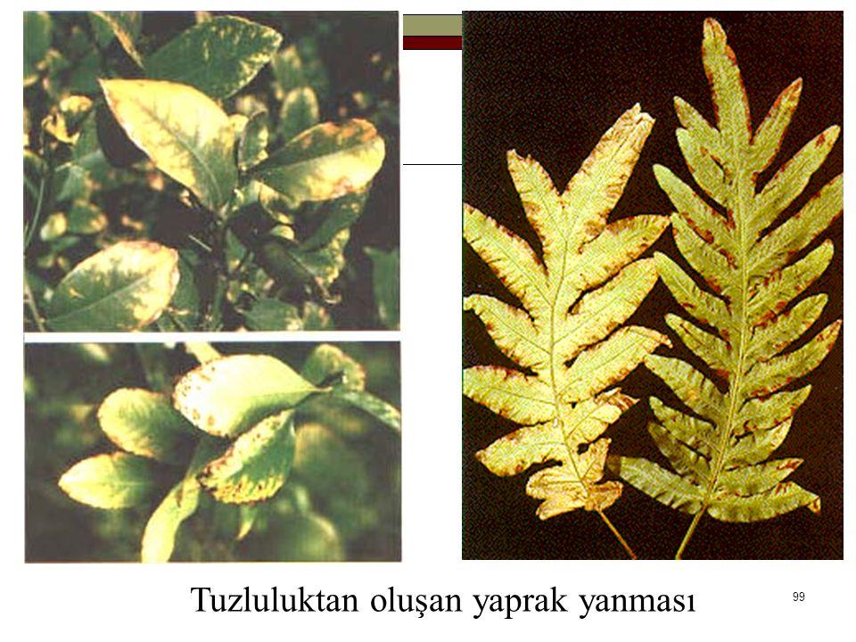 Tuzluluktan oluşan yaprak yanması 99