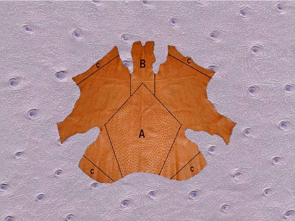 A(1)–A(4): Esas Elmas Bölgesi B: Boyun C(1), C(2): Üst Kanatlar C(3), C(4): Alt Kanatlar 1.