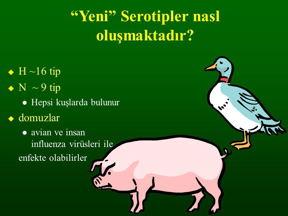 """""""Yeni"""" Serotipler nasl oluşmaktadır?  H ~16 tip  N ~ 9 tip Hepsi kuşlarda bulunur  domuzlar avian ve insan influenza virüsleri ile enfekte olabilir"""