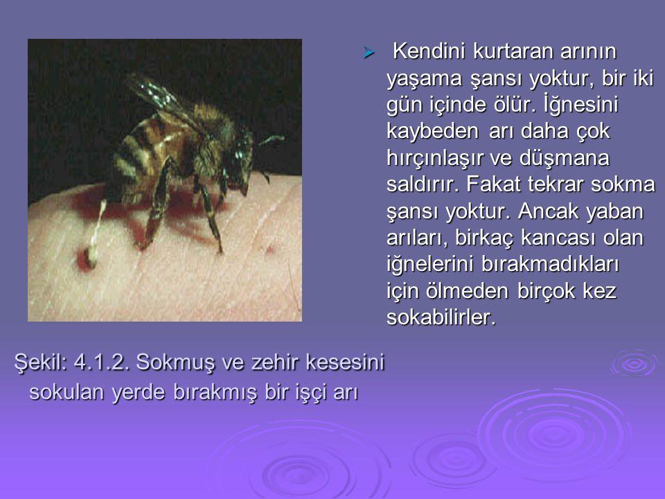 Şekil: 4.1.2. Sokmuş ve zehir kesesini sokulan yerde bırakmış bir işçi arı Şekil: 4.1.2. Sokmuş ve zehir kesesini sokulan yerde bırakmış bir işçi arı