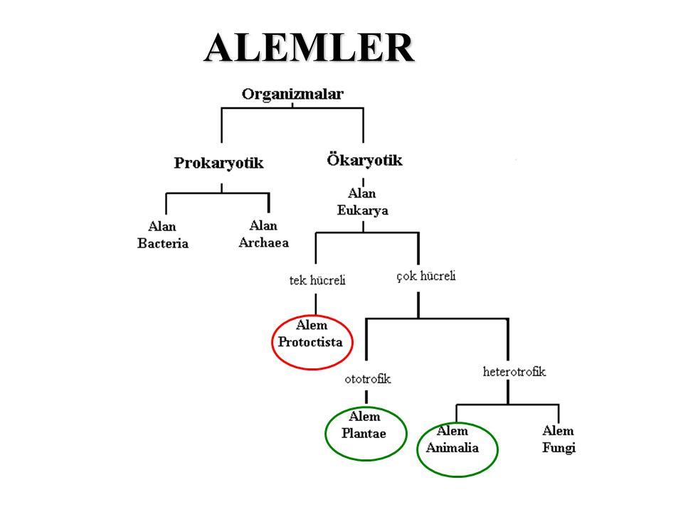 Sınıflamada, Hayvansal kökenli organizmalar için Filum Bitkisel kökenli organizmalar için Bölüm kullanılır Alem (Kingdom) - Filum (Phyllum) - Bölüm (Division) Sınıf (Class) Ordo (Order) Familya (Family) Cins (Genus) Tür (Species) Taksonomik sınıflama (= Sistematik sınıflama)