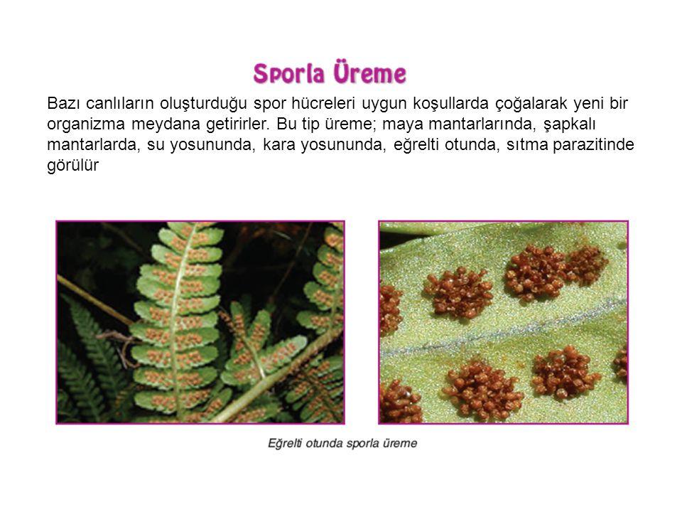 Bazı canlıların oluşturduğu spor hücreleri uygun koşullarda çoğalarak yeni bir organizma meydana getirirler. Bu tip üreme; maya mantarlarında, şapkalı