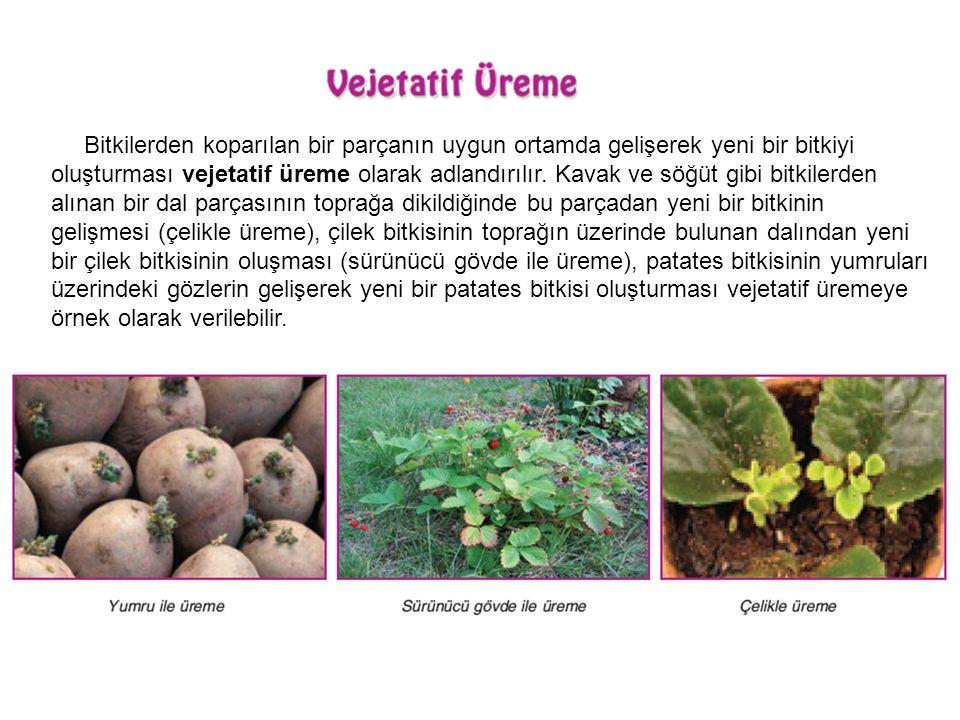 Bitkilerden koparılan bir parçanın uygun ortamda gelişerek yeni bir bitkiyi oluşturması vejetatif üreme olarak adlandırılır. Kavak ve söğüt gibi bitki