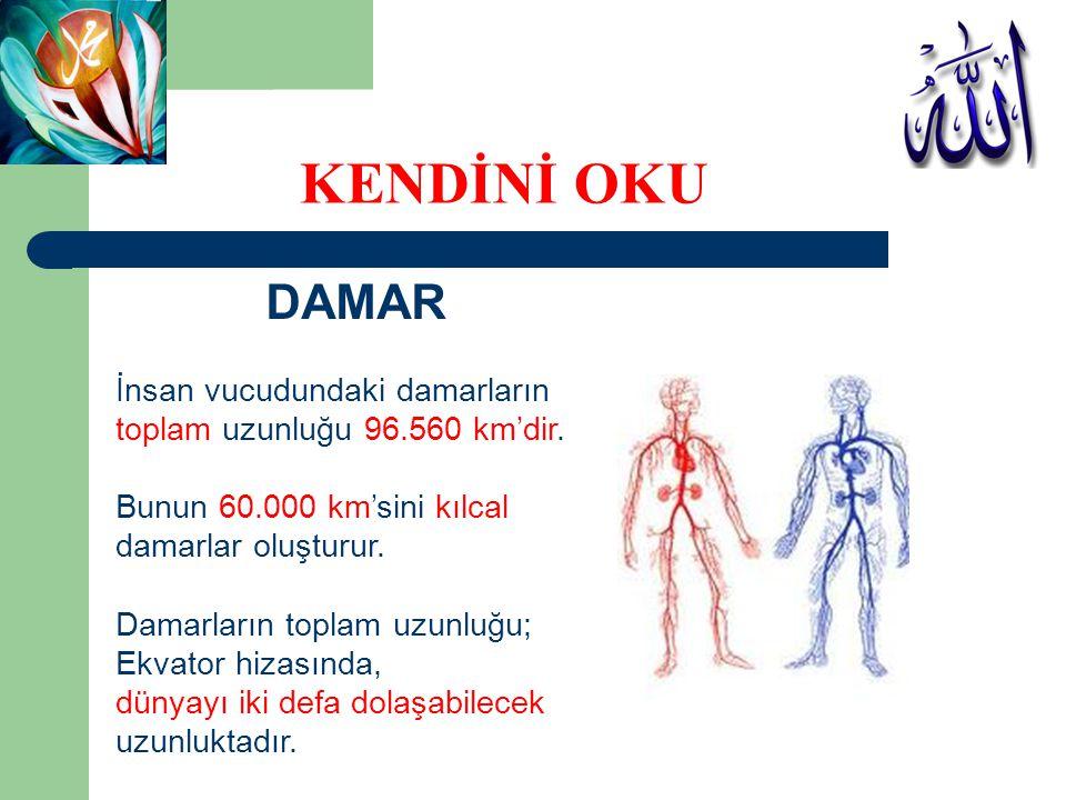 DAMAR İnsan vucudundaki damarların toplam uzunluğu 96.560 km'dir. Bunun 60.000 km'sini kılcal damarlar oluşturur. Damarların toplam uzunluğu; Ekvator