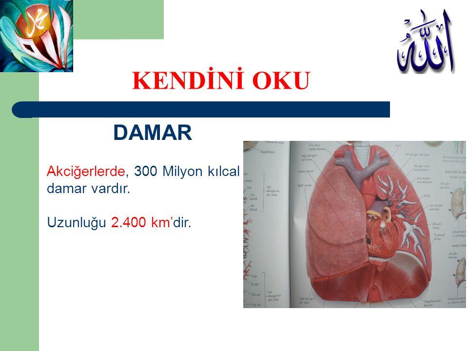 DAMAR Akciğerlerde, 300 Milyon kılcal damar vardır. Uzunluğu 2.400 km'dir. KENDİNİ OKU